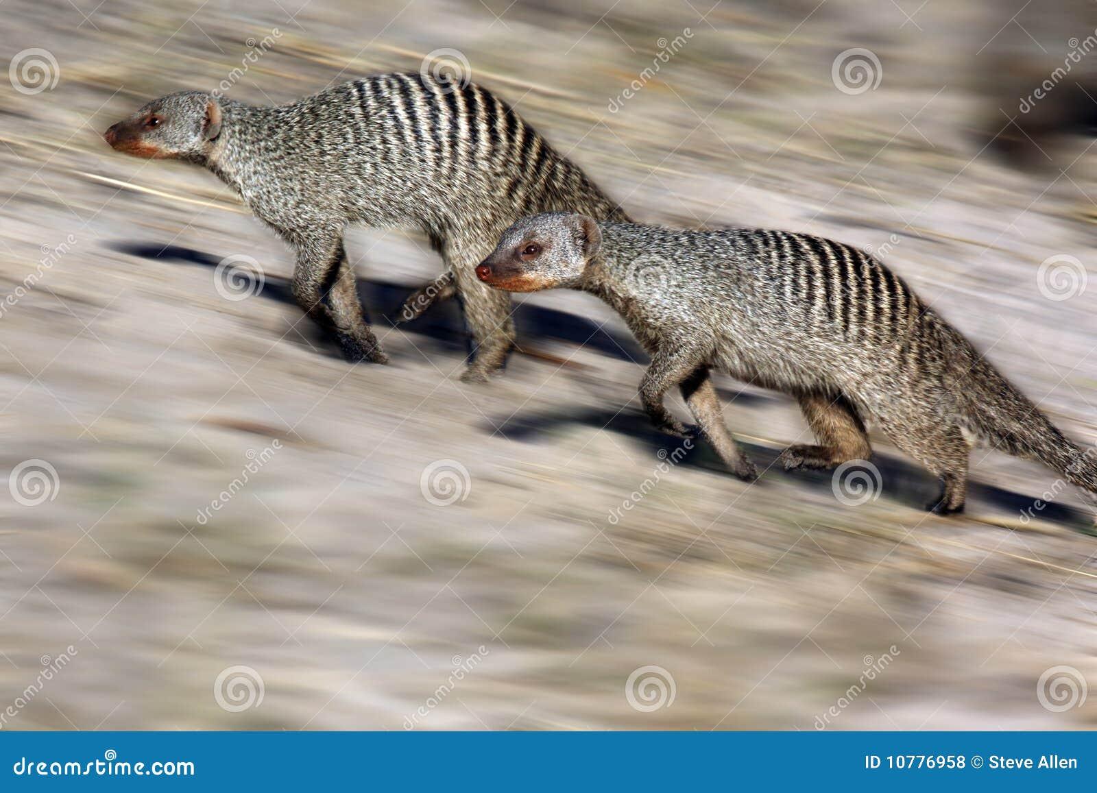 Gestreepte Mongoes