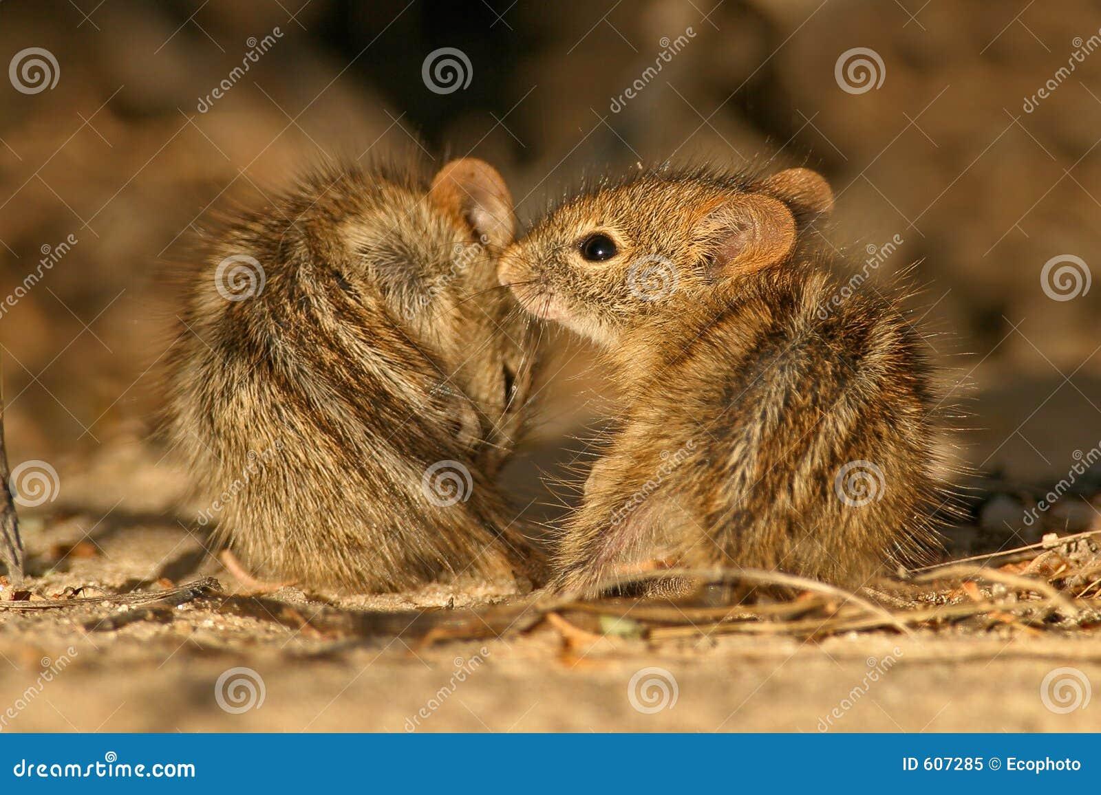 Gestreepte muizen