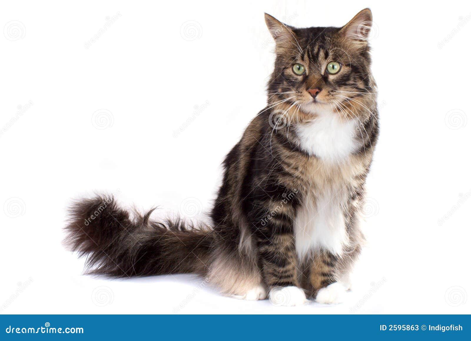 Gestreepte Siberische kat