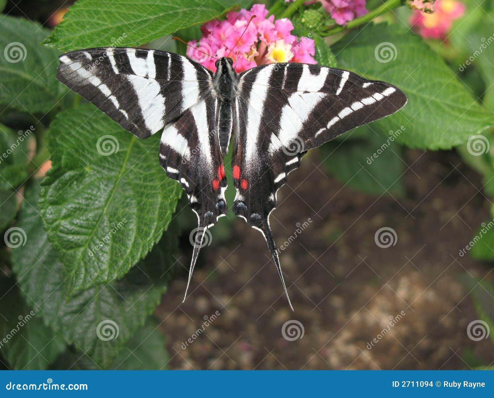 Gestreepte Swallowtail 2