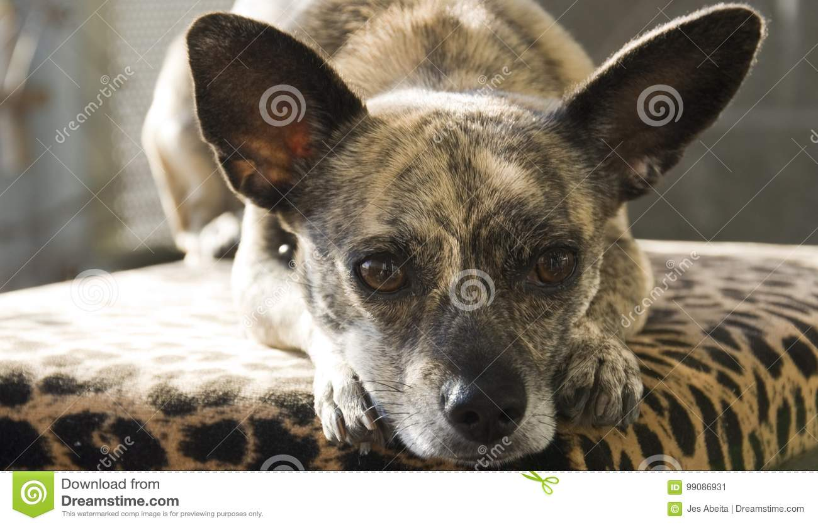 Gestreifte Chihuahua mit den großen Ohren
