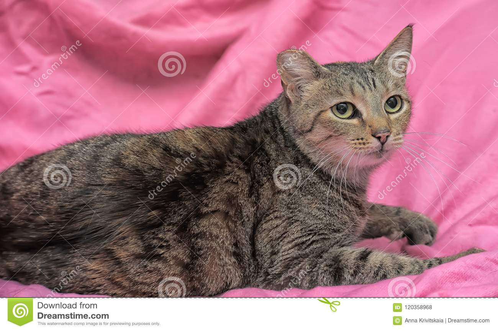 Gestreifte Katze mit einem befestigten Ohr