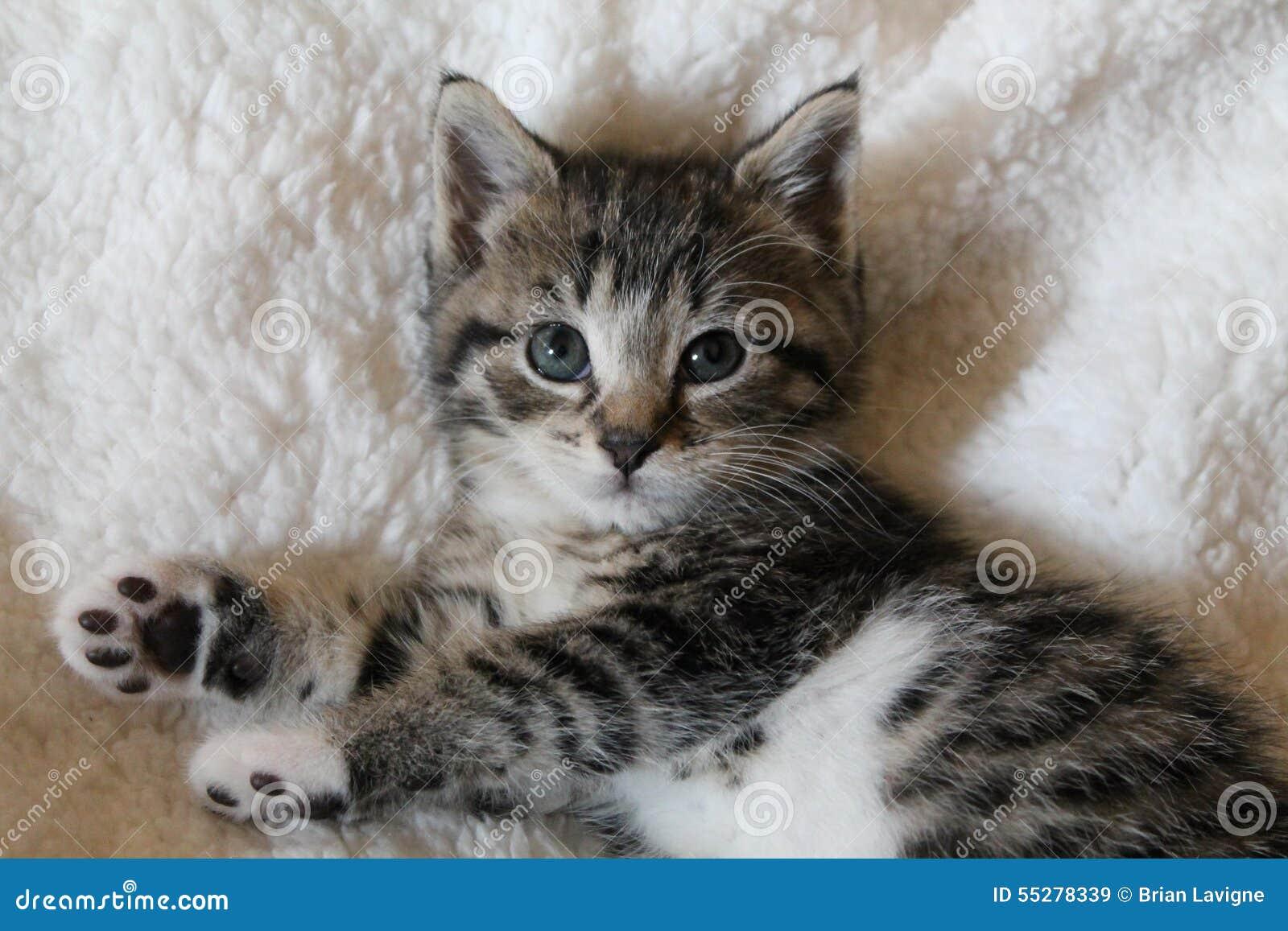 Gestreiftes Kaliko-Kätzchen