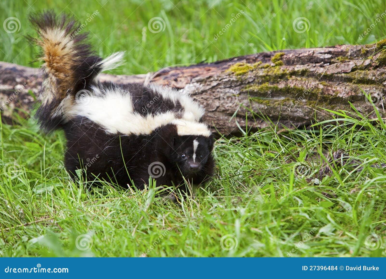 Gestreiftes Stinktier im Gras