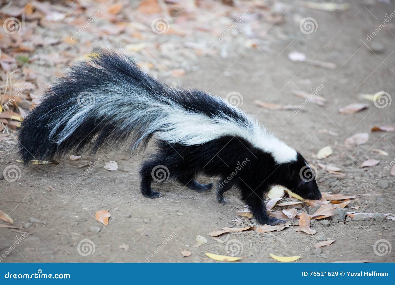 Gestreiftes Stinktier - Mephitis Mephitis Rancho San Antonio County Park, Kalifornien