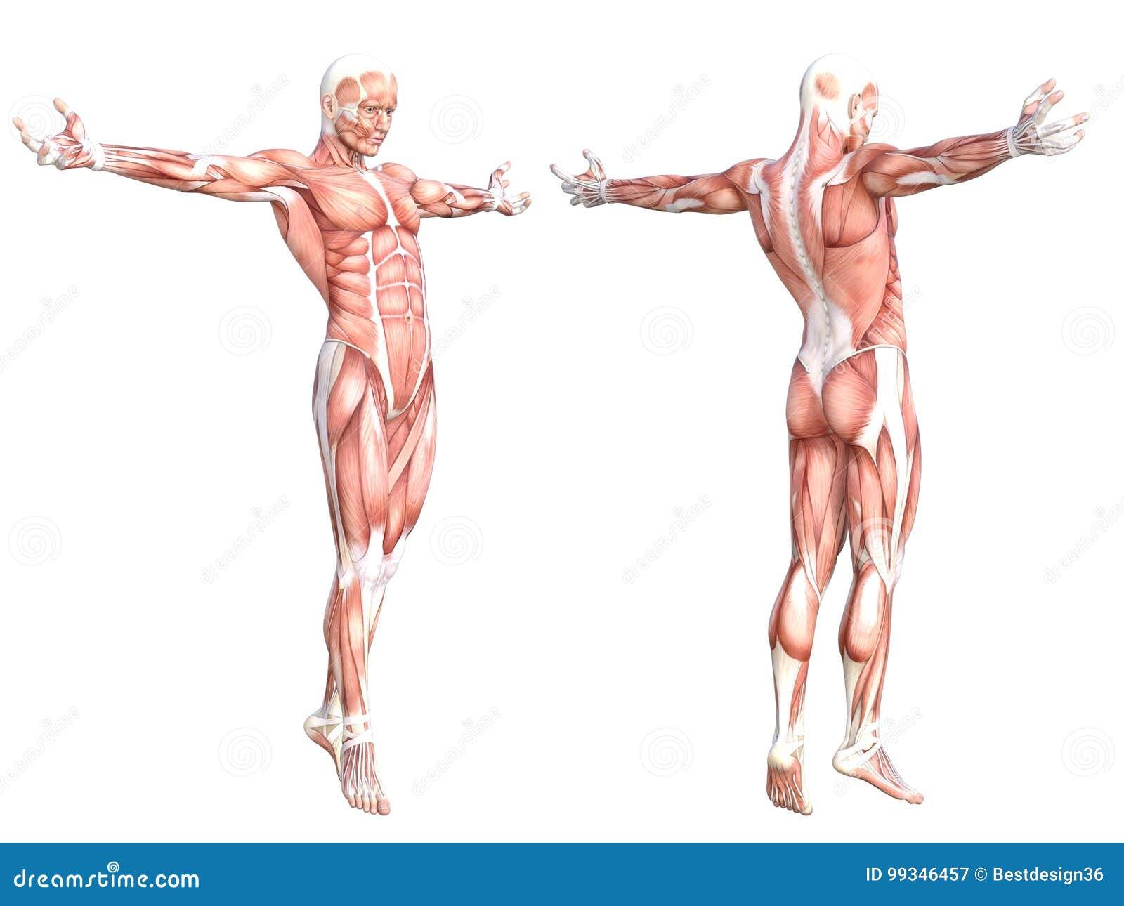 Gesunder Hautloser Muskel Des Menschlichen Körpers Der Anatomie ...