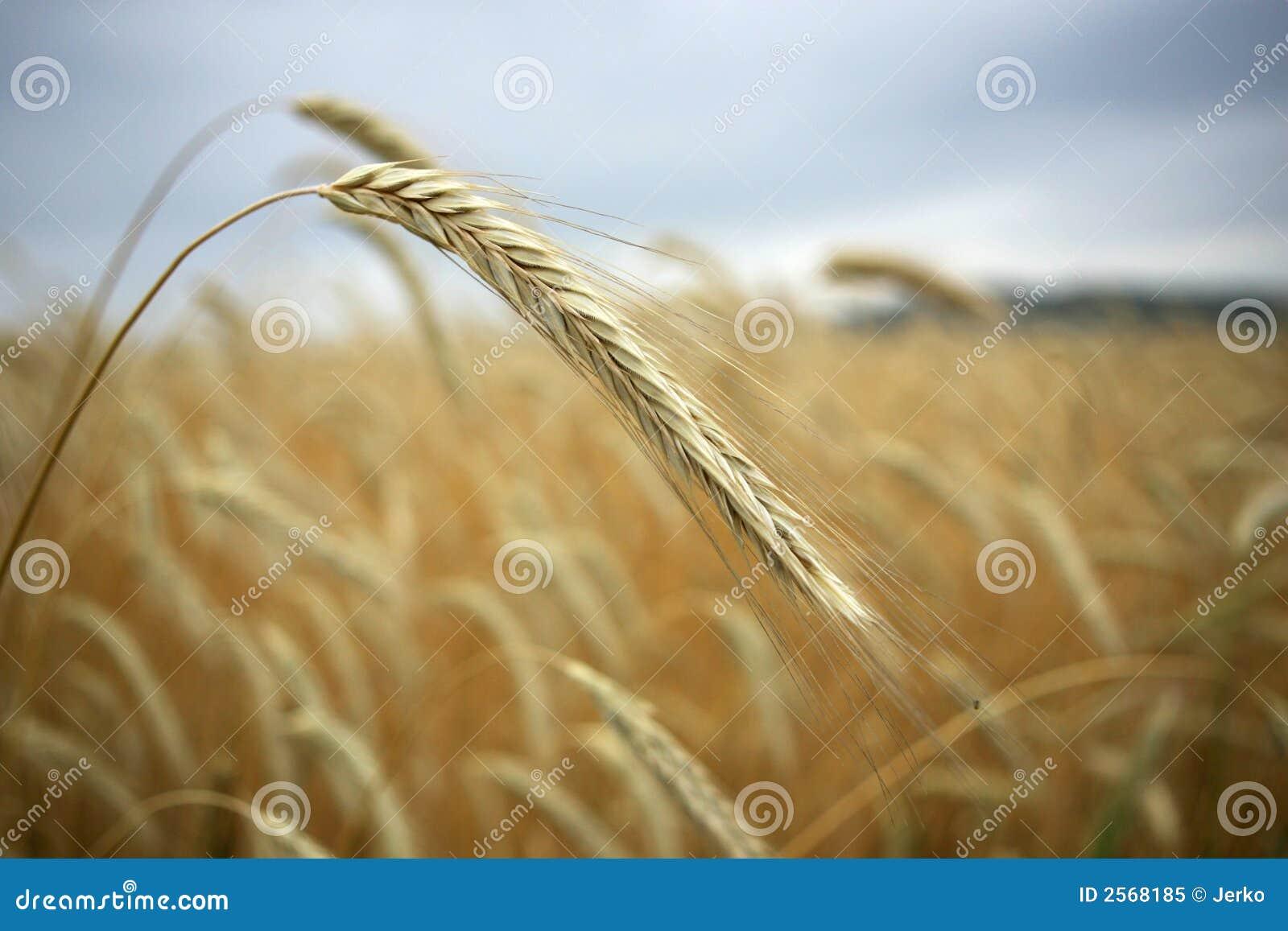 Getreide auf dem Gebiet