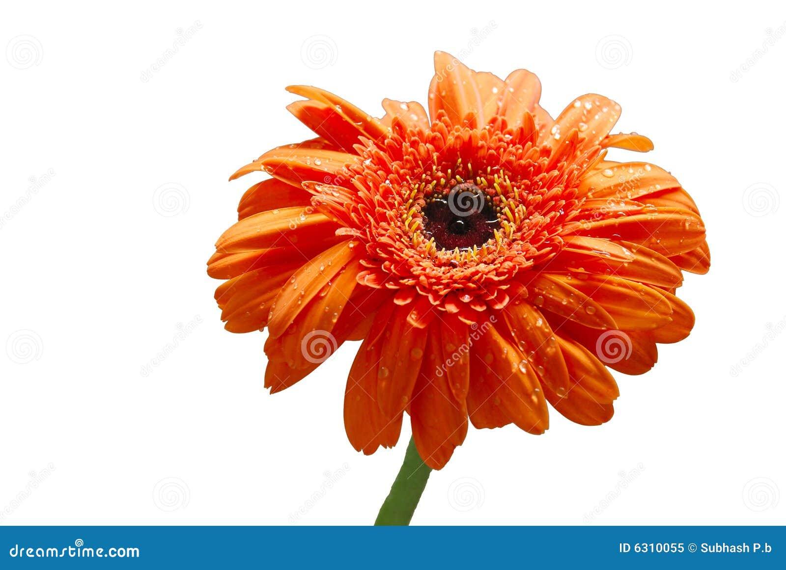 Getrennte Blume des orange Gänseblümchens