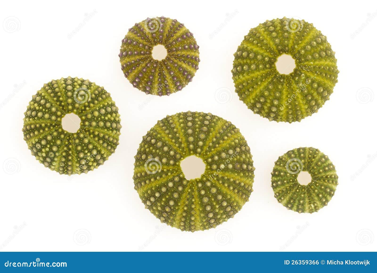 Getrennte grüne Seeigel