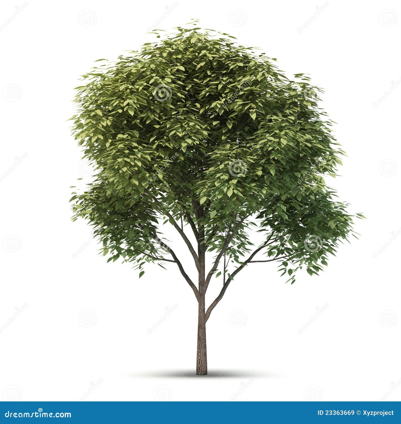 Getrennter Baum. Lizenzfreie Stockbilder - Bild: 23363669 Oak Tree Clip Art