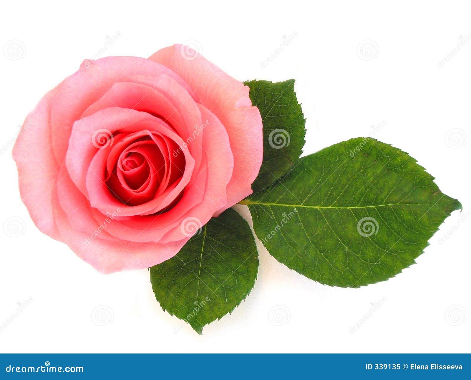 Getrenntes Rosa stieg mit grünem Blatt