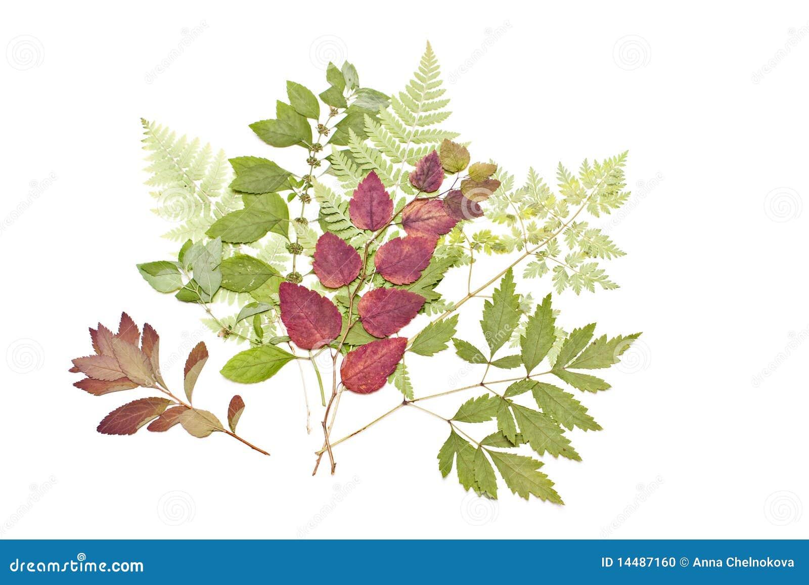 Herbarium Blätter getrocknete blätter stockfoto bild grün getrennt 14487160