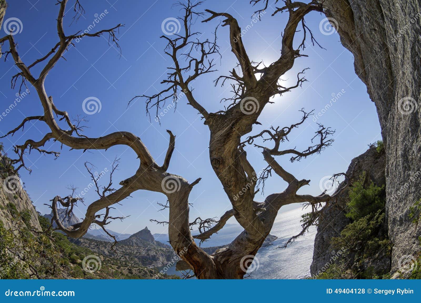 Download Getrocknete Relictkiefer Auf Der Küste Krim Stockfoto - Bild von skelett, stein: 49404128