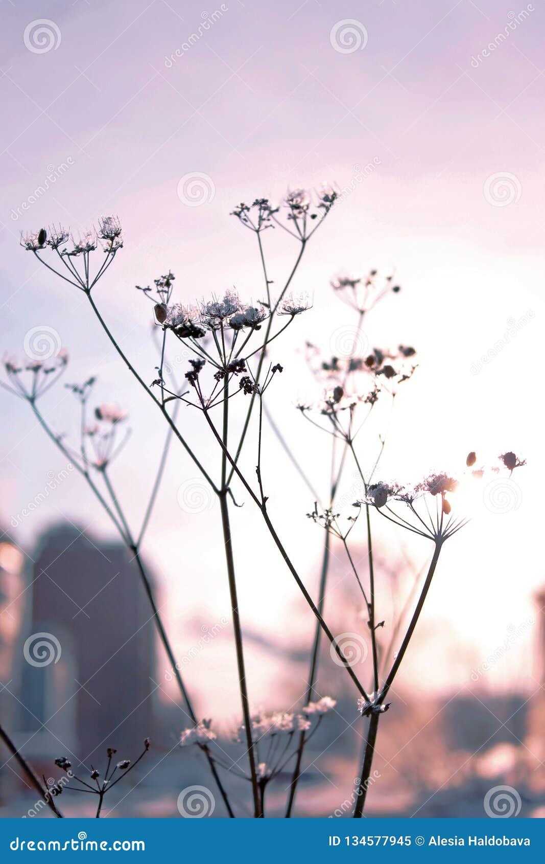 Getrockneter Blütenstand in den Strahlen des Sonnenuntergangs