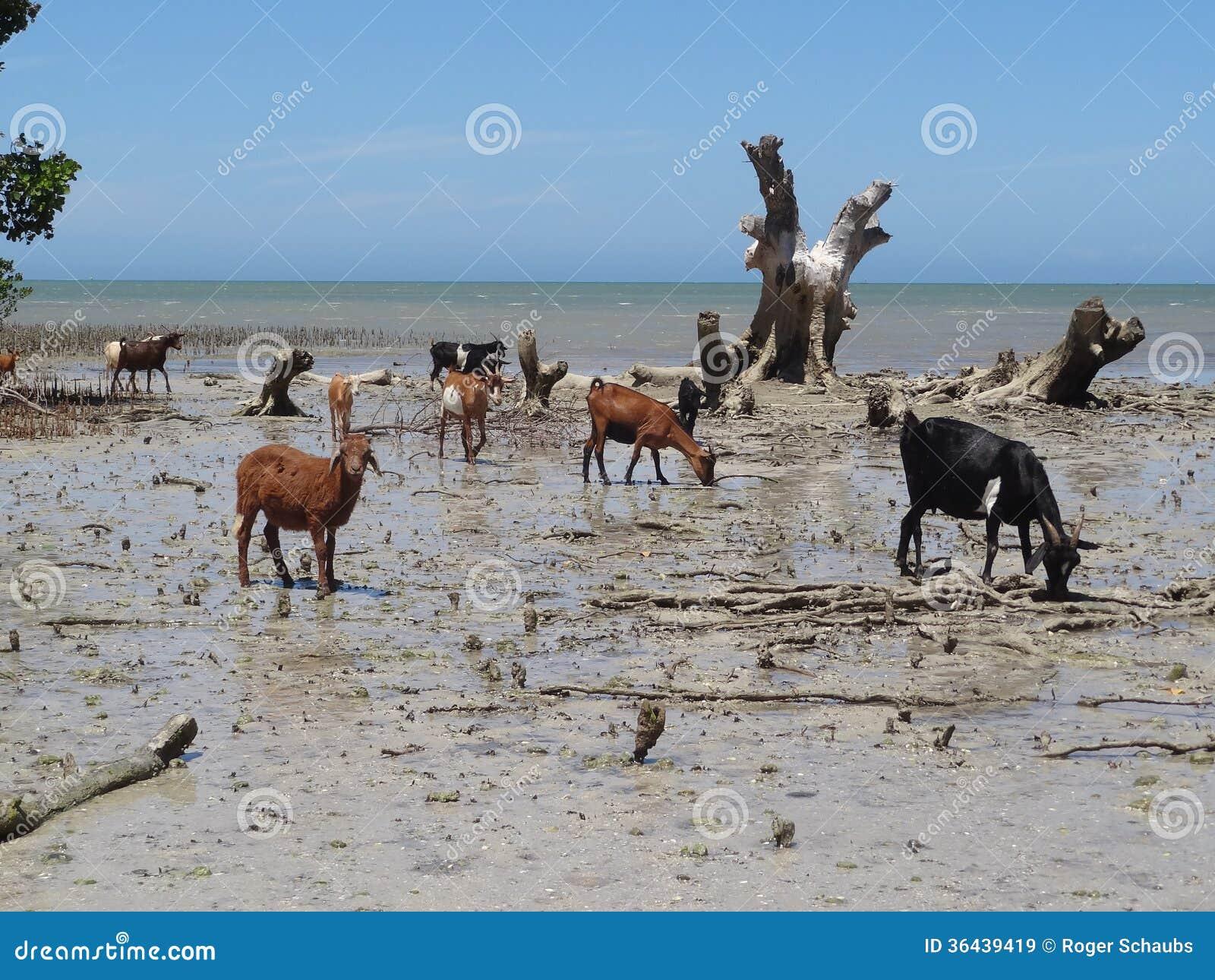 Getter på stranden i Madagascar