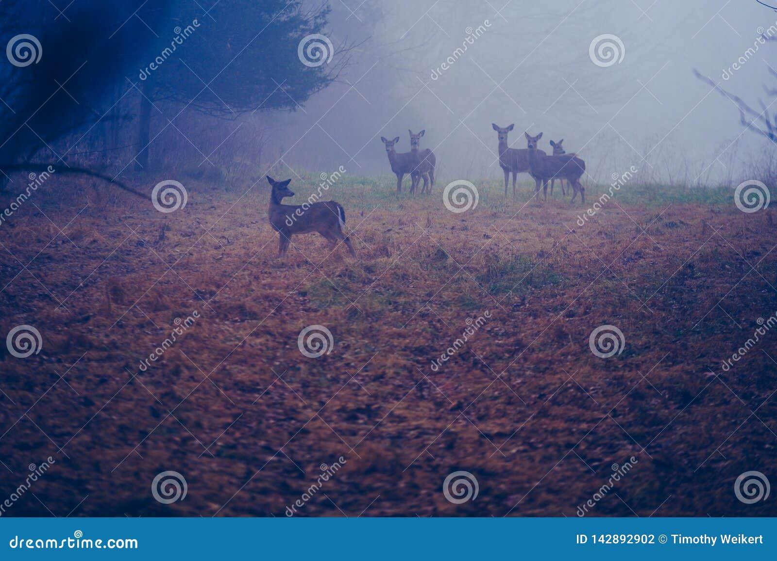 Gettysburg PA, usa Grudzień,/: 2018: Mały stado biała ogoniasta jelenia pozycja w łące z jesienią na ziemi