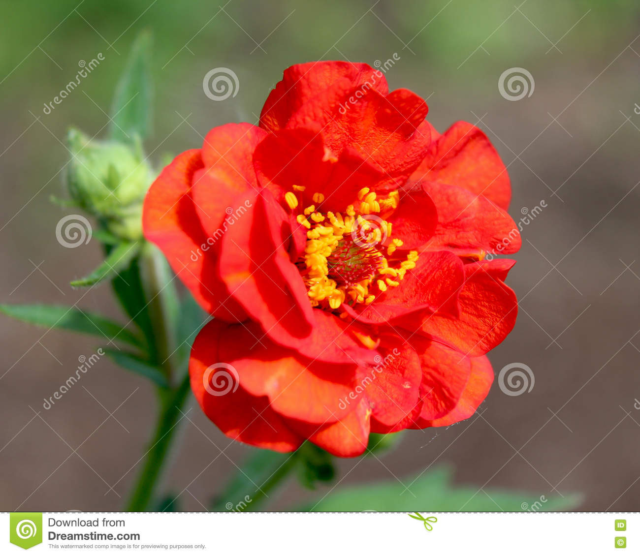 Red geum stock photo image of perennial flora head 72185260 the bright red double flower of geum chiloense mrs j bradshaw a perennial garden plant also known as avens mightylinksfo