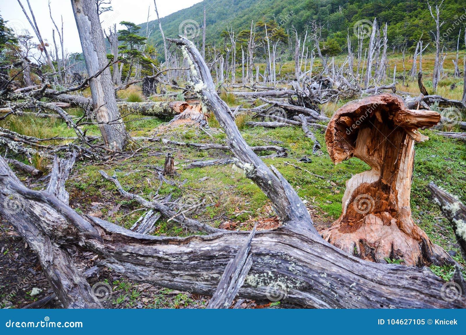 Download Gevallen Die Bomen En De Schade Door Bevers In Dientes DE Navarino, Isla Navarino, Chili Wordt Gemaakt Stock Afbeelding - Afbeelding bestaande uit amerika, schade: 104627105