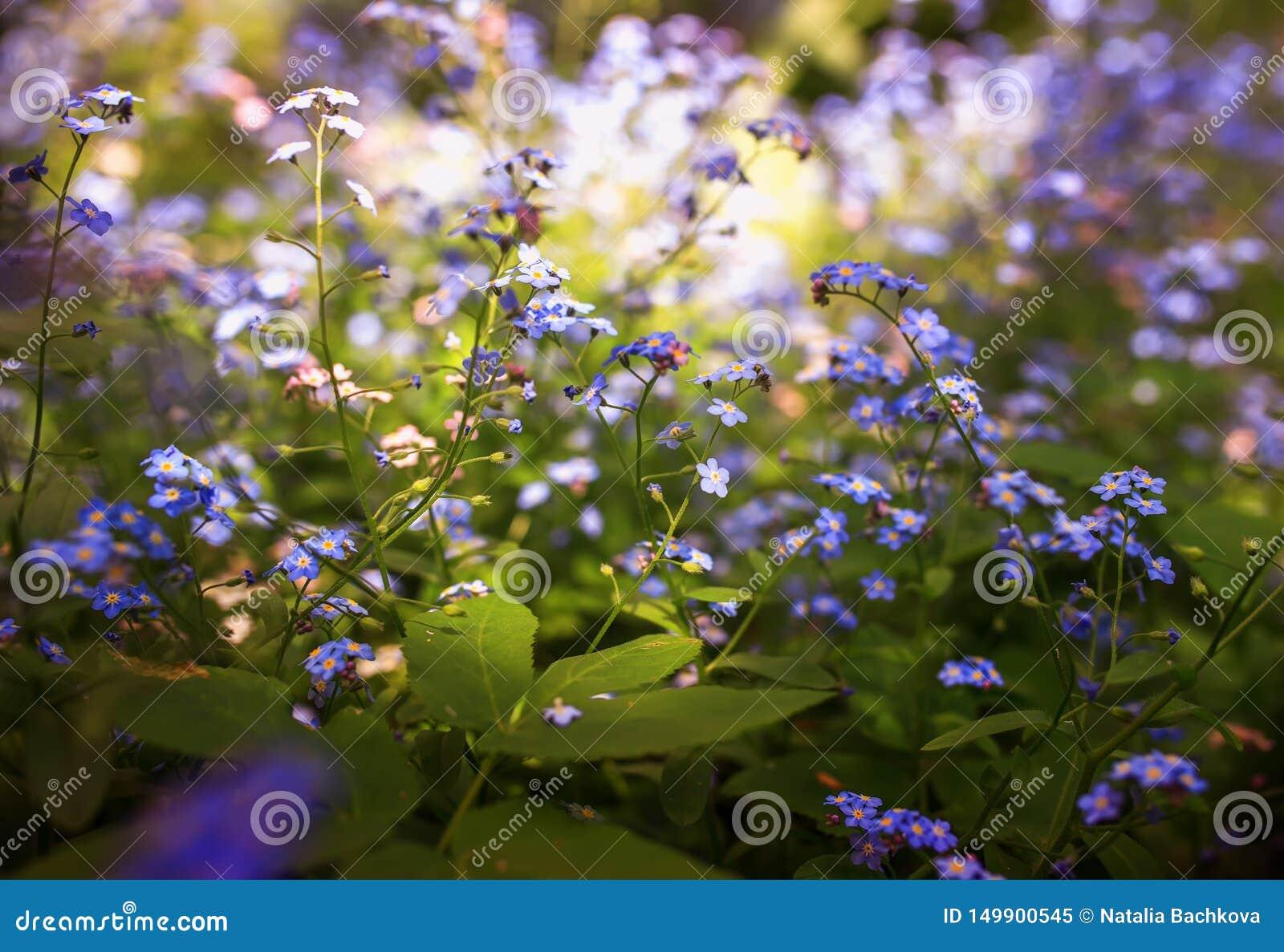 Gevoelig bloeit weinig vergeet-mij-nietje van diverse schaduwen van blauw en roze gekregen die in de de lente zonnige tuin wordt