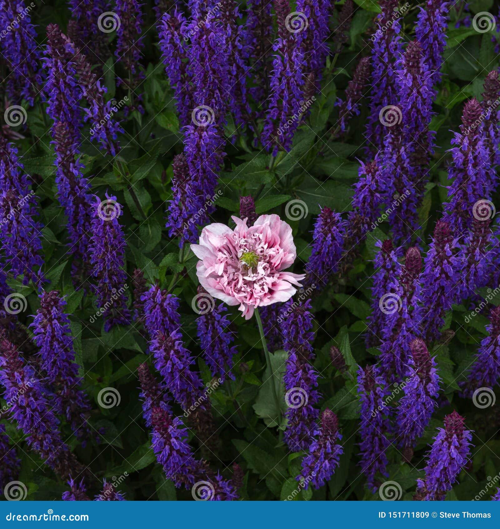 Gevoelige roze papaver onder de violette stammen van de salviabloem