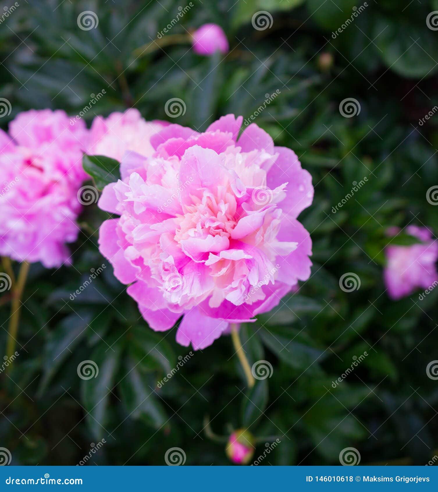 Gevoelige roze pioenen in de tuin in tuin
