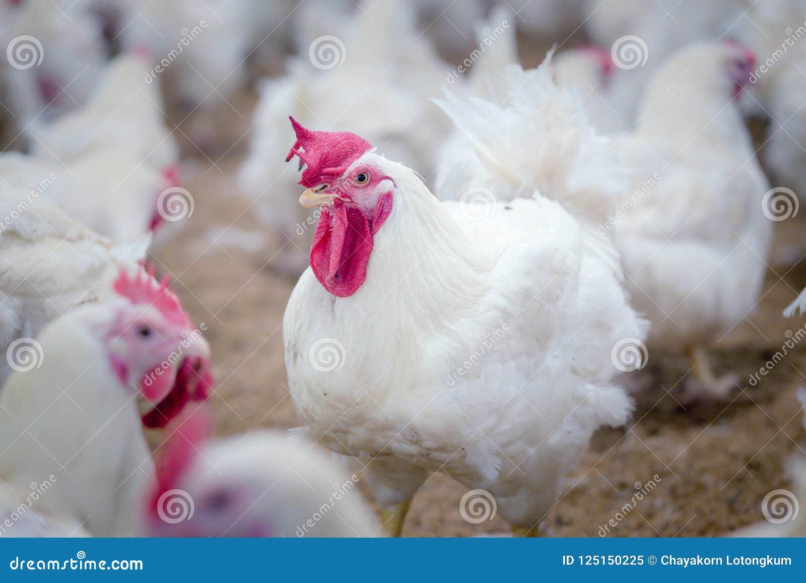 Gevogeltelandbouwbedrijf met de kip van de grillkweker