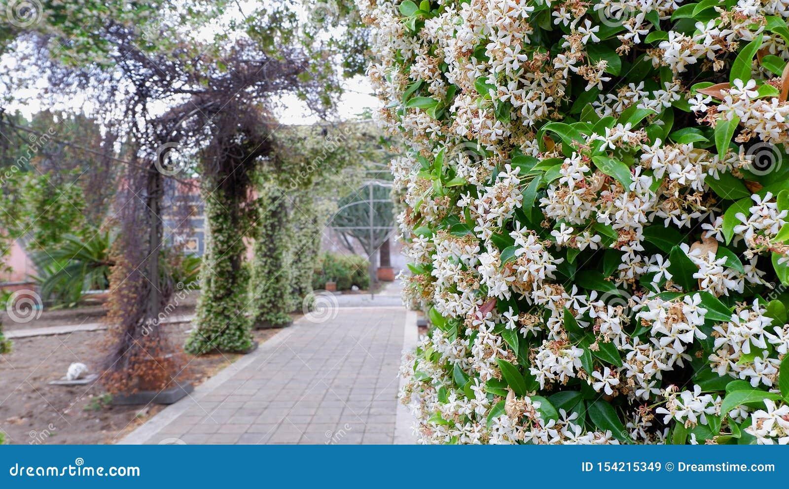 Gewölbte Gasse mit Jasminbüschen im Hof des italienischen Klosters Sizilien, Catania