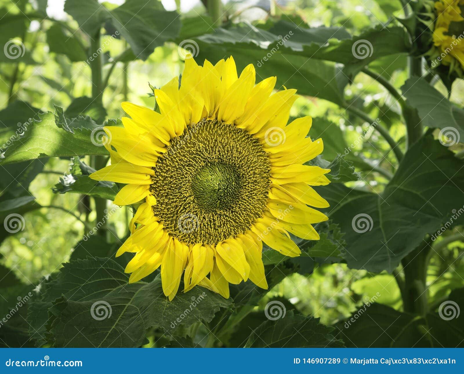 Gezicht van een grote gele zonnebloem in een de herfsttuin