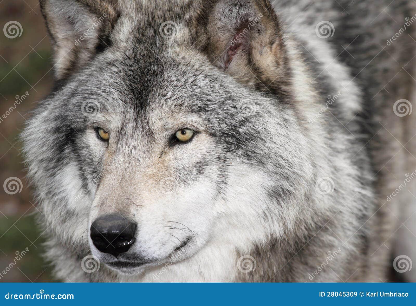 gezicht grijze wolf stock afbeelding afbeelding