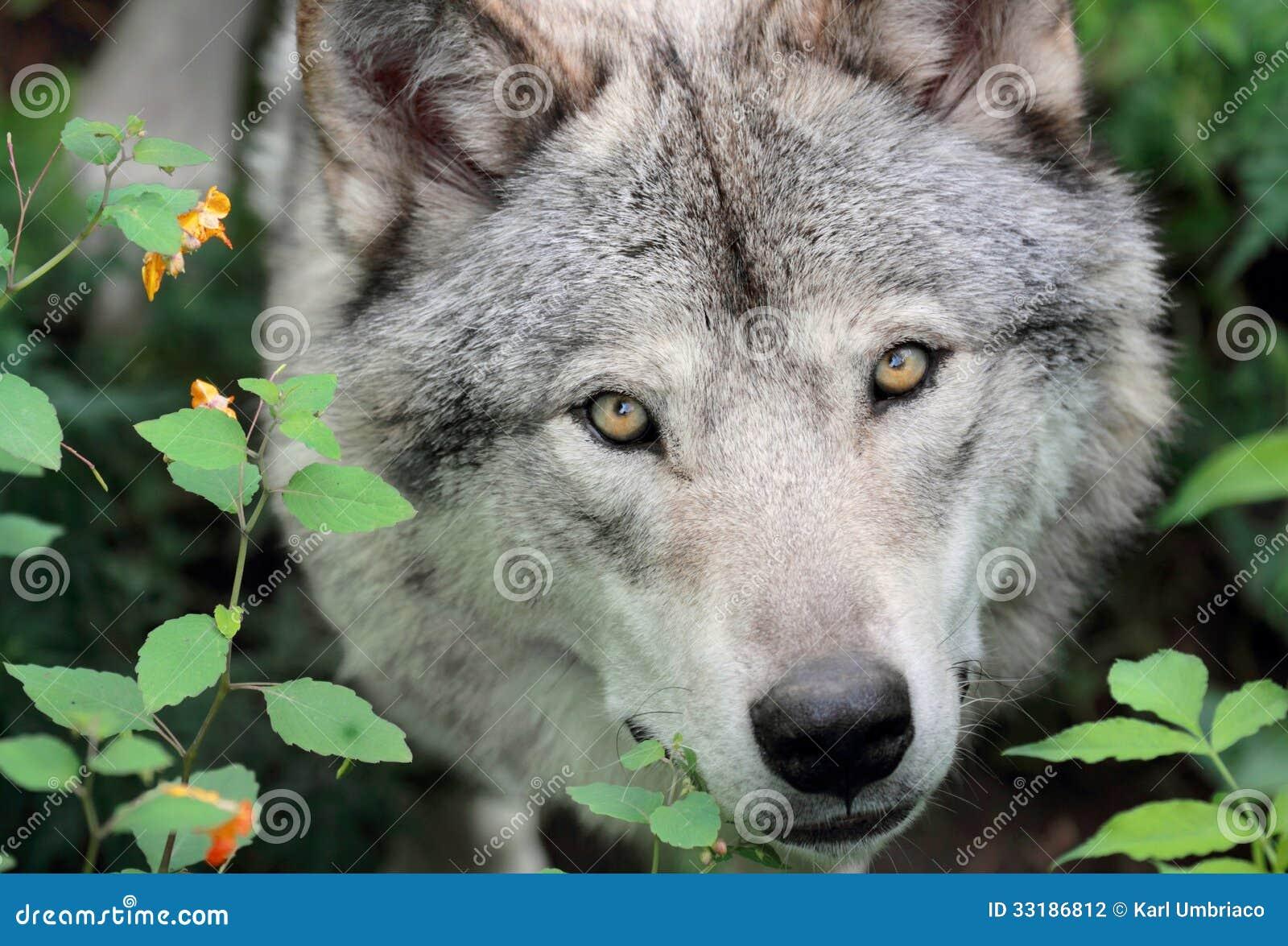 gezicht grijze wolf stock foto afbeelding bestaande