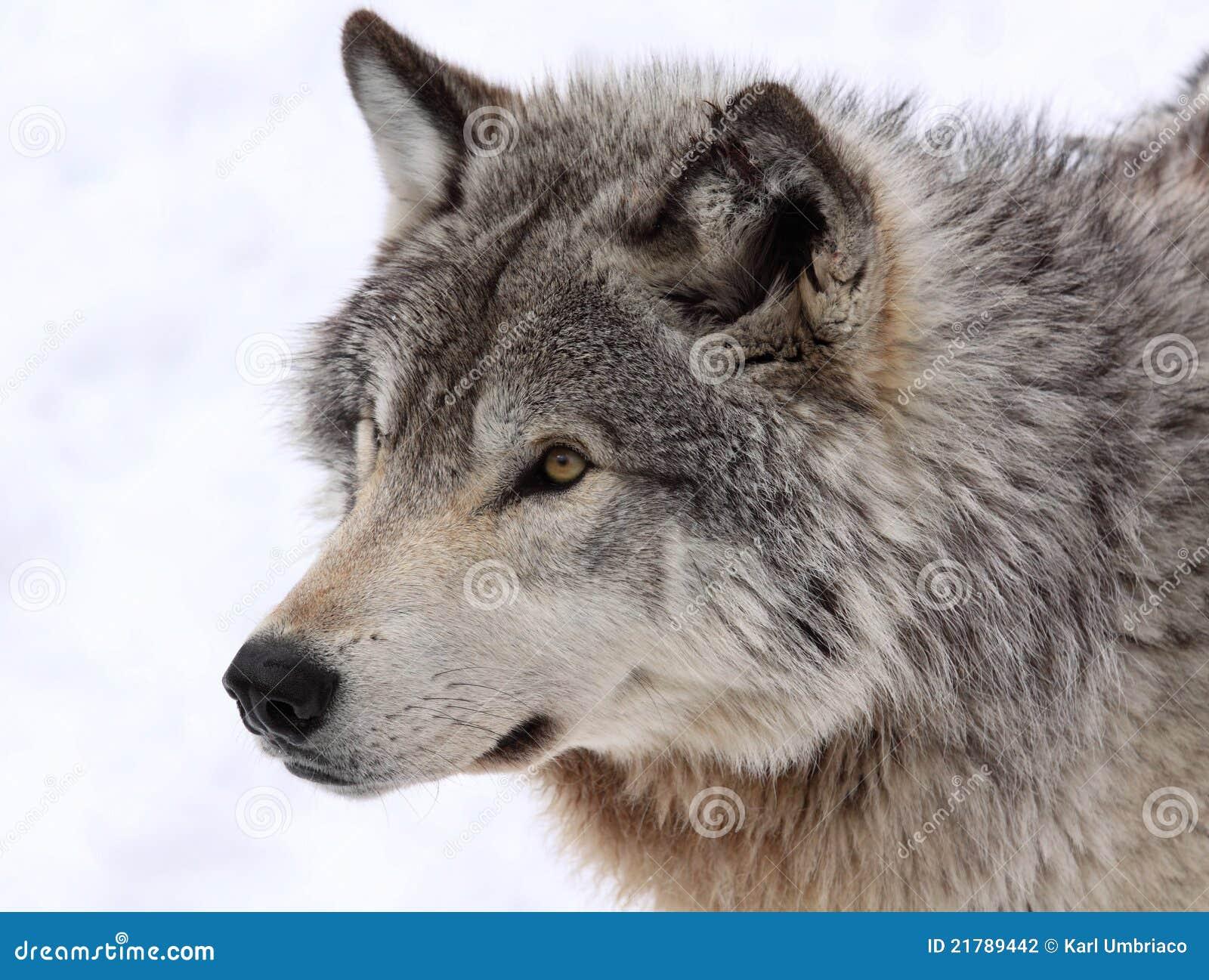 gezicht wolf stock foto afbeelding bestaande uit