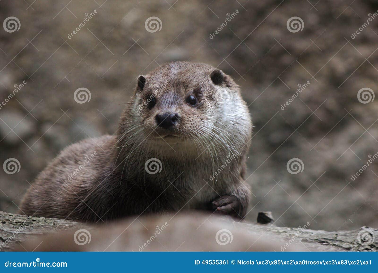 Gezichtsdetail van Noordamerikaanse rivierotter