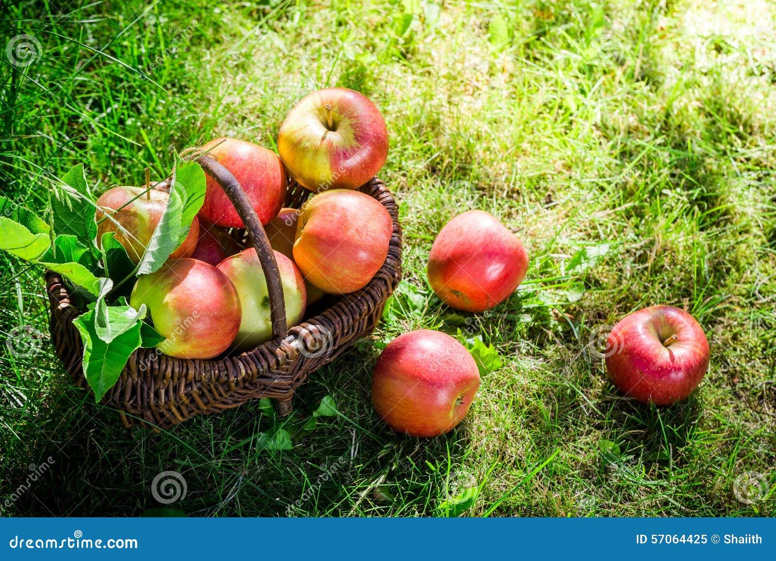 Gezonde appelen in tuin