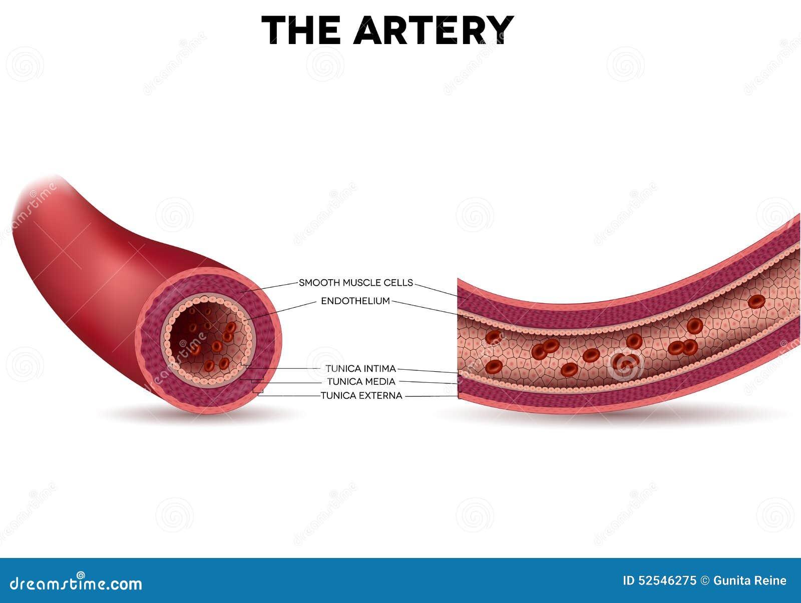 Gezonde slagaderanatomie