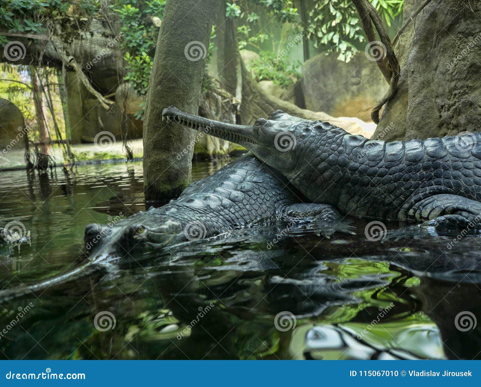Gharial, Gavialis gangeticus,引人注意与一个非常长的下颌