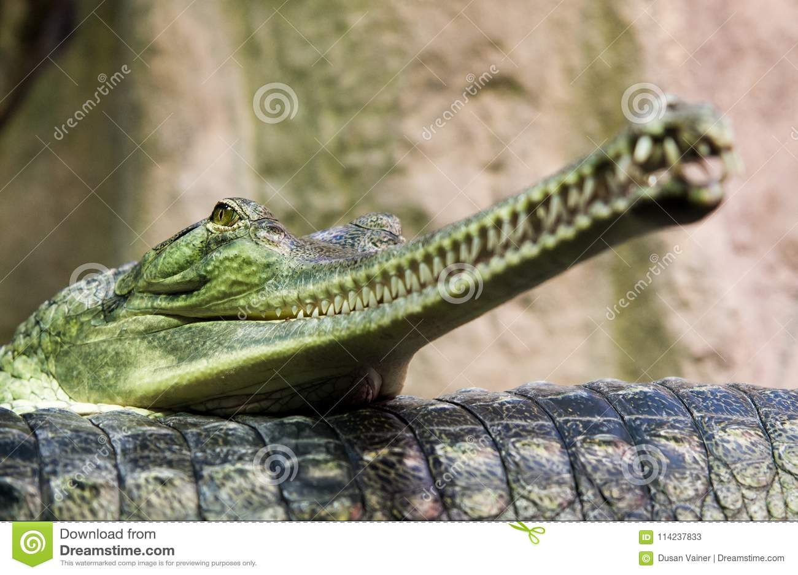 Gharials的双重画象,说谎在彼此的Gavialis gangeticus