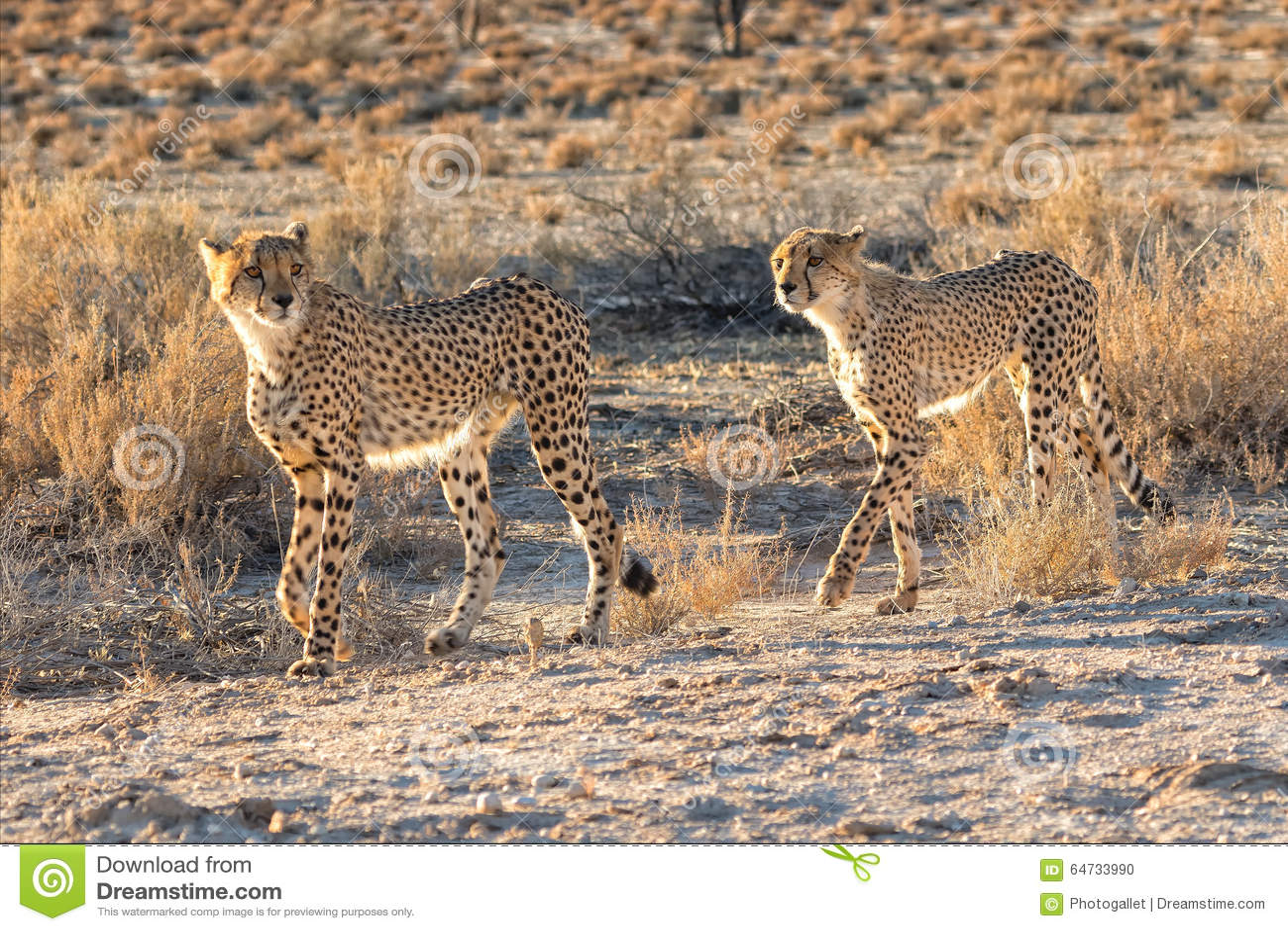 Ghepardi al parco nazionale frontaliero di kgalagadai