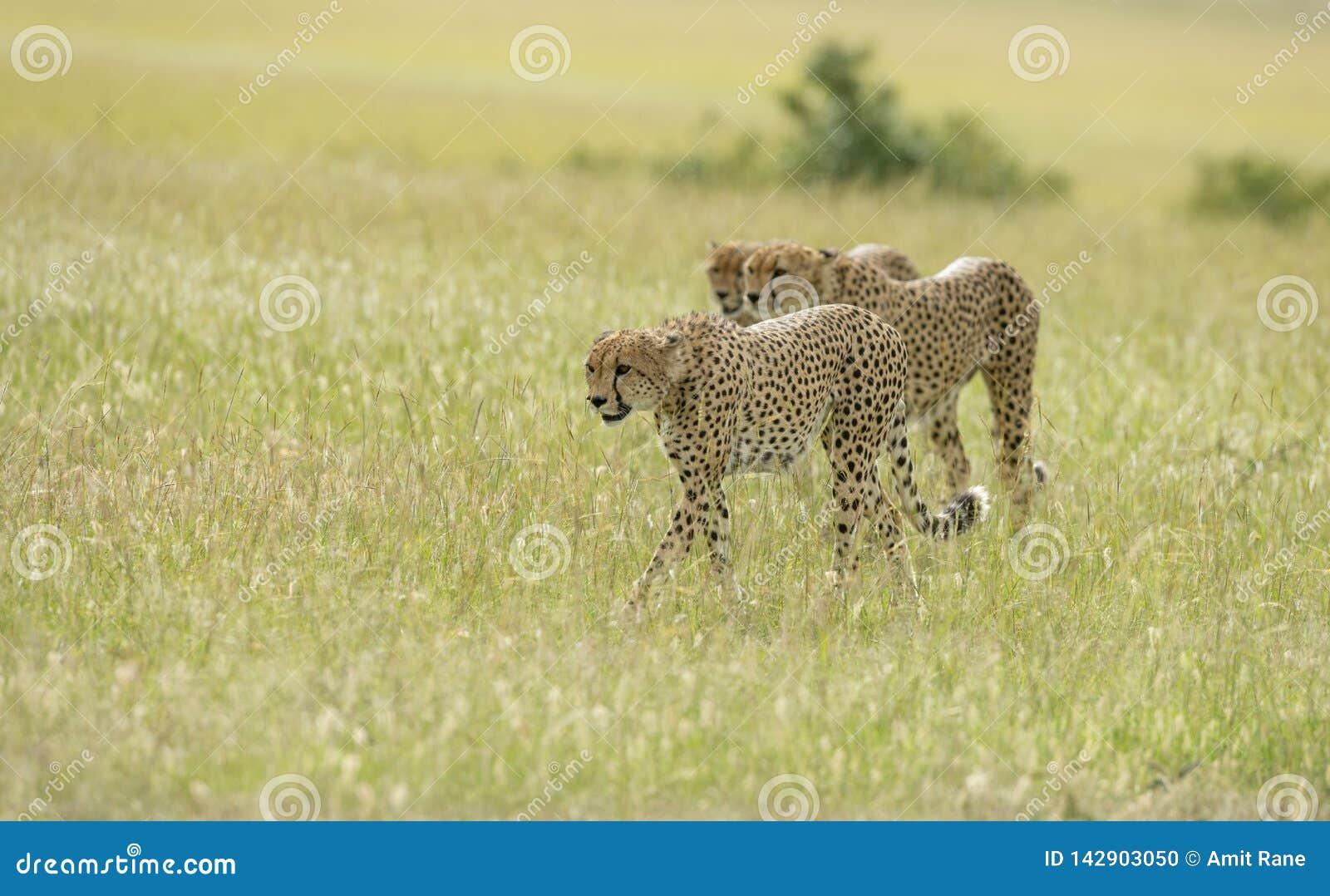Ghepardi dei fratelli di coalizione che cercano la caccia ai masai Mara Game Reserve, Kenya