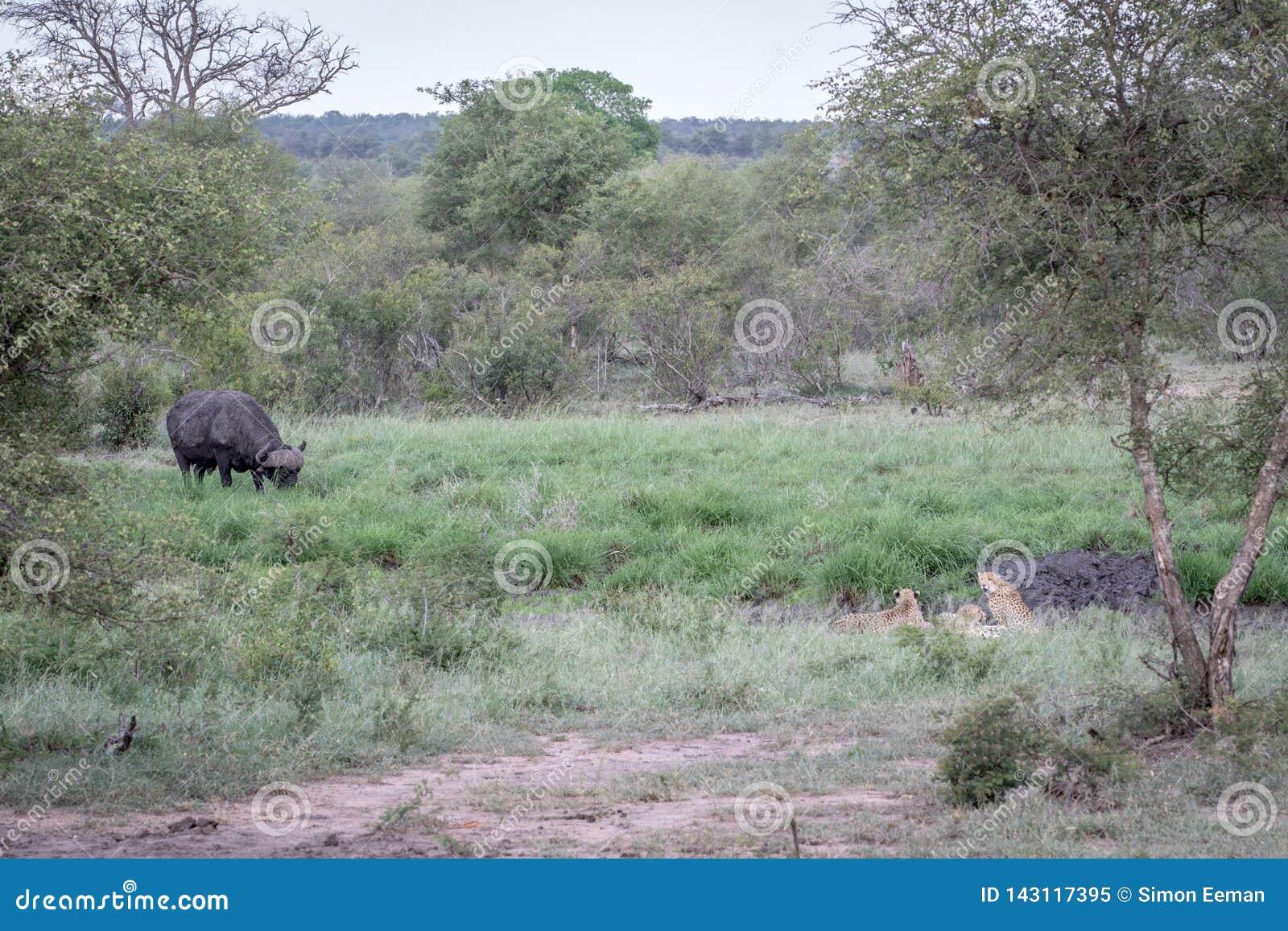Ghepardi in una linea di drenaggio che esamina una Buffalo