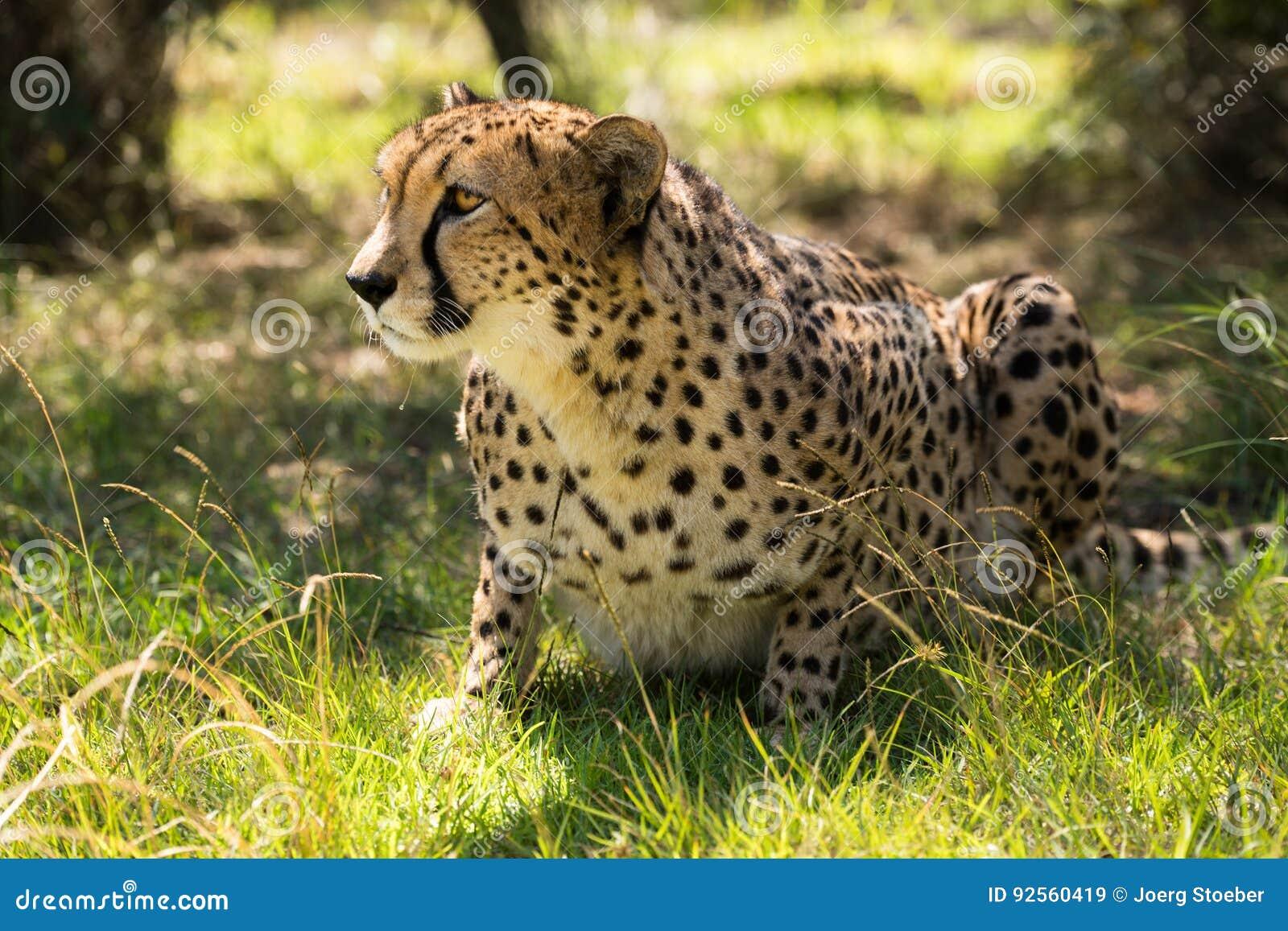 Ghepardo africano su erba