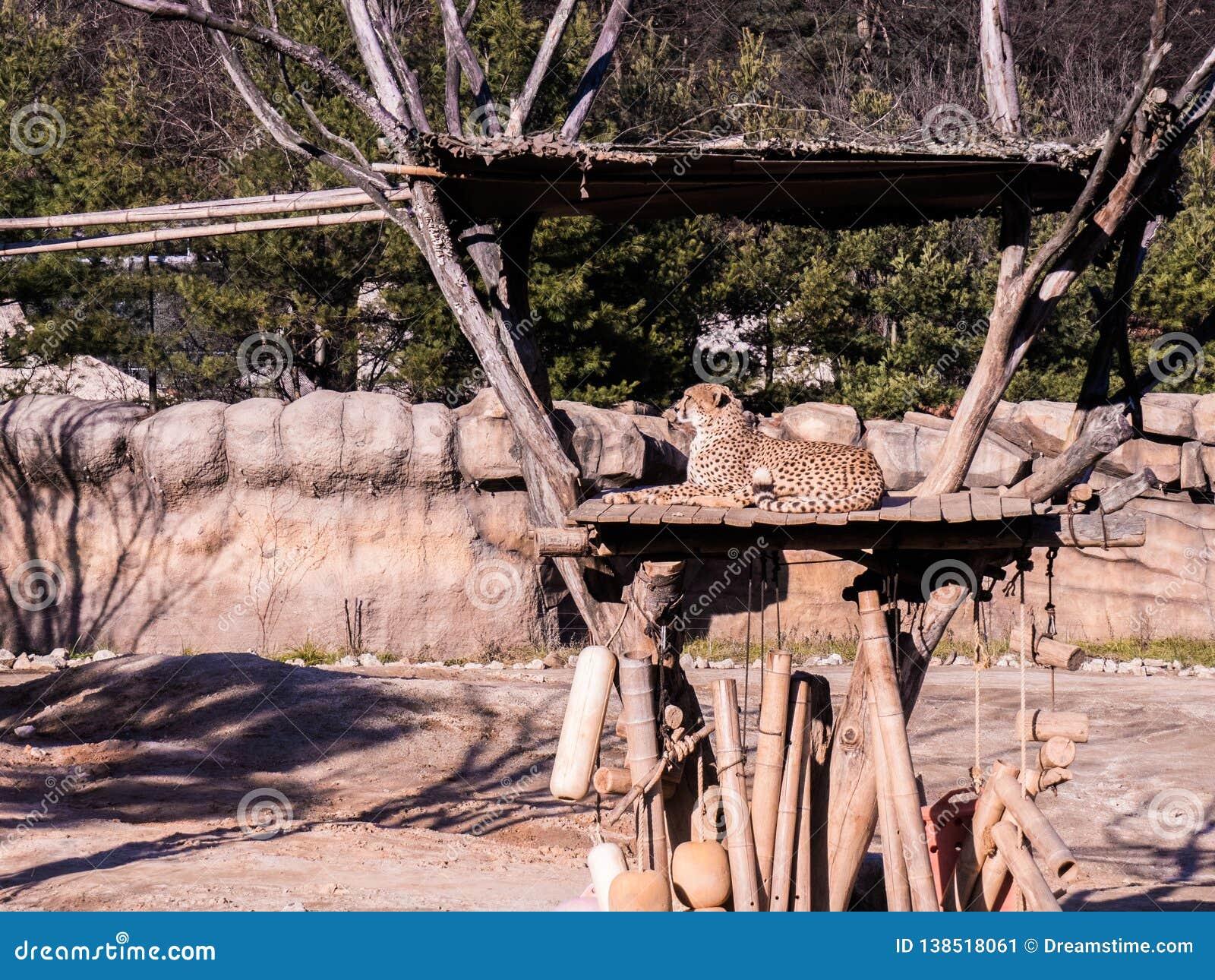 Ghepardo che si siede e che posa per un colpo piacevole durante il giorno soleggiato sul selvaggio