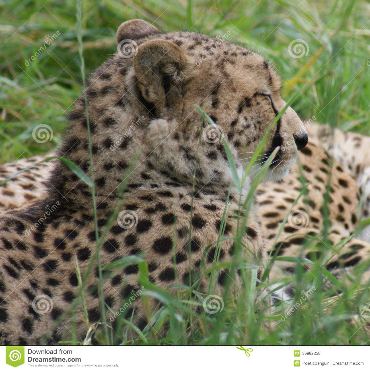 Download Ghepardo - Jubatus Di Acinonyx Fotografia Stock - Immagine di creatura, vita: 36882250