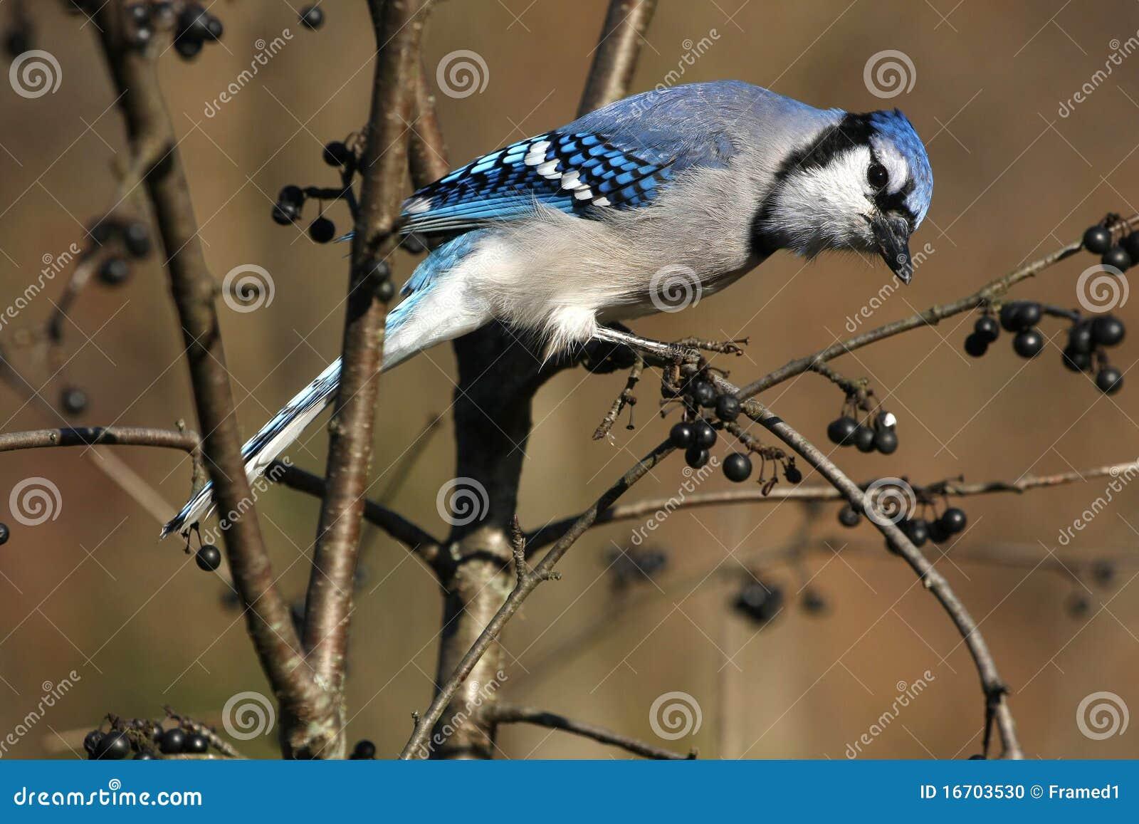 Ghiandaia azzurra americana