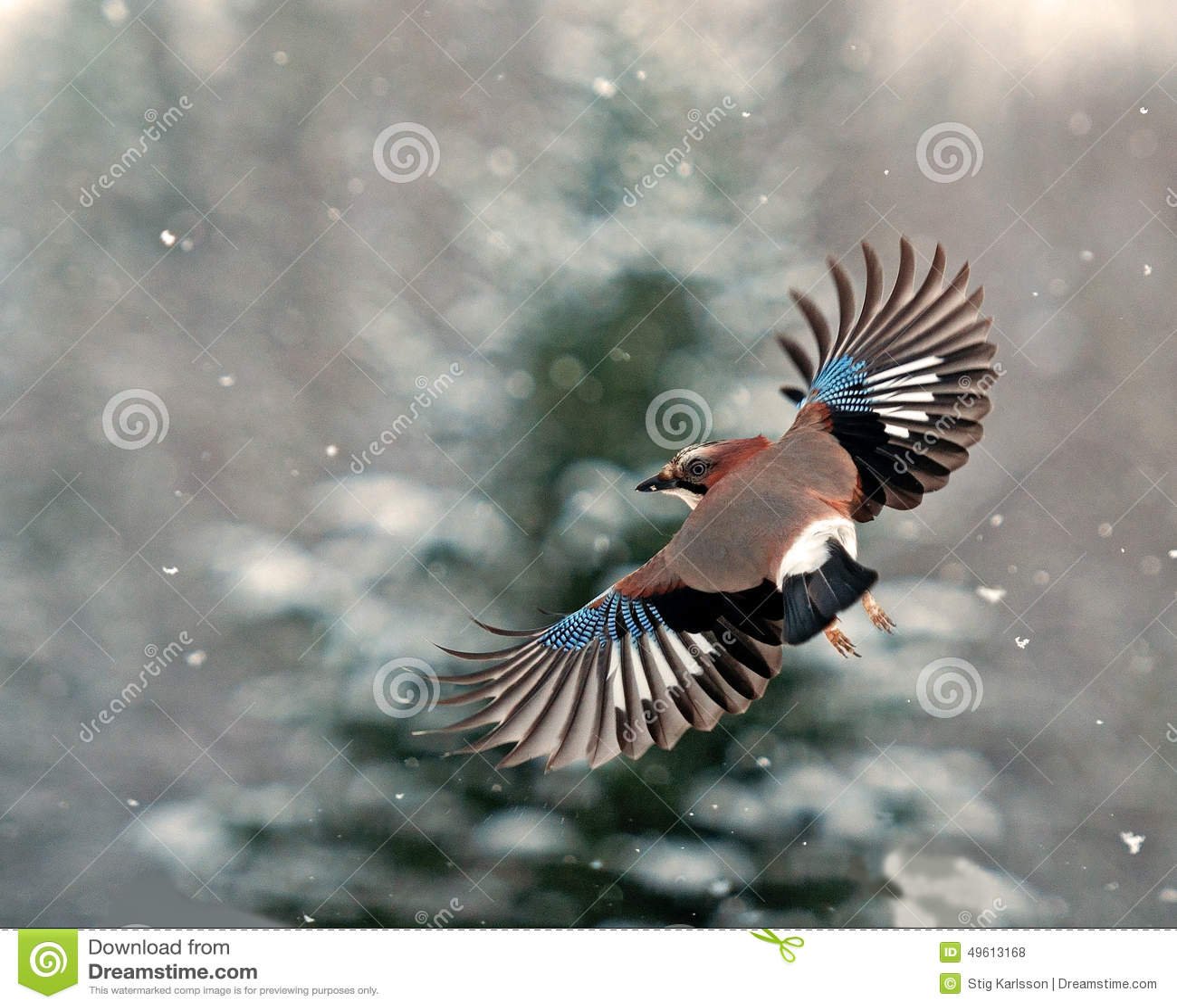 Ghiandaia euroasiatica, volo di glandarius del Garrulus nella neve di caduta