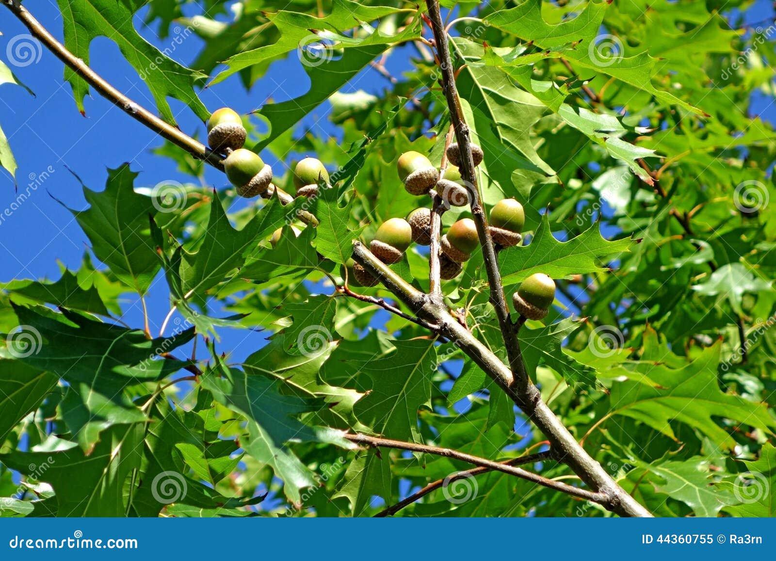 Ghiande su un ramo della quercia