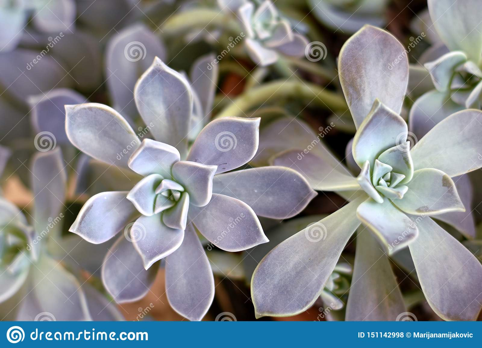 Ghost Plant Succulent Background Stock Photo Image Of Mother Background 151142998