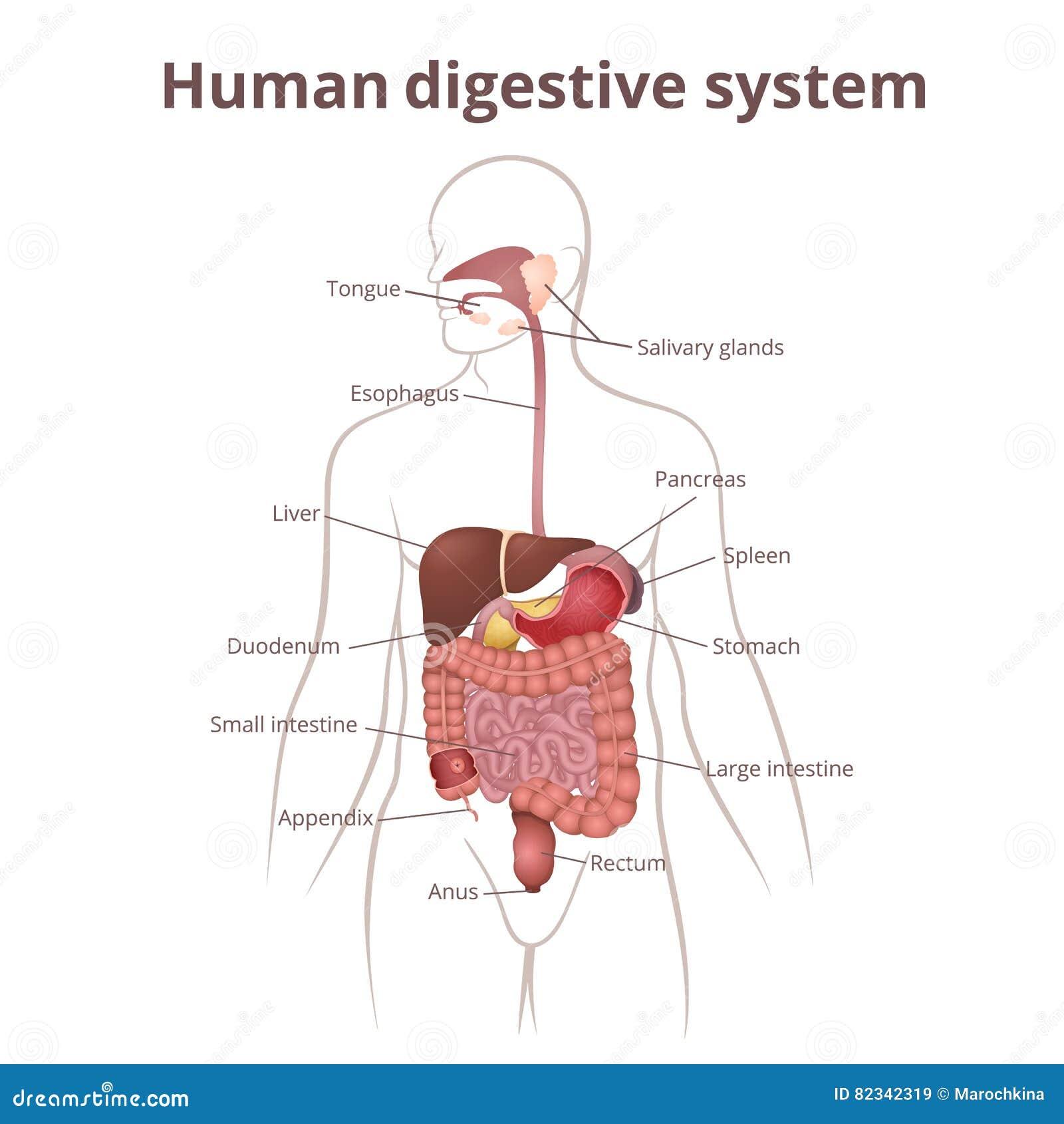 organ i magen