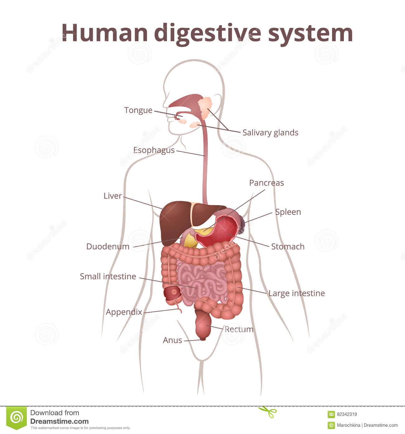 GI tract organs stock vector. Illustration of digestion - 82342319