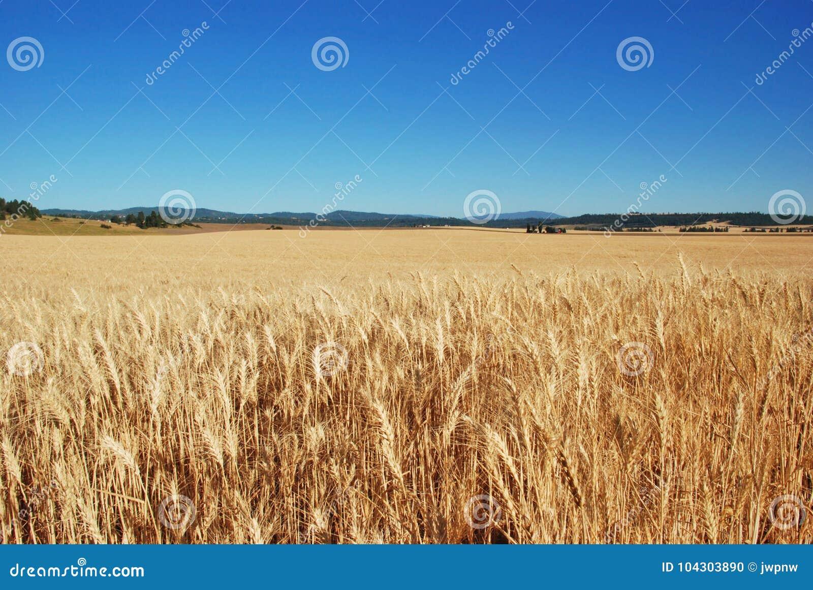 Giacimenti di grano, la contea di Spokane, Washington