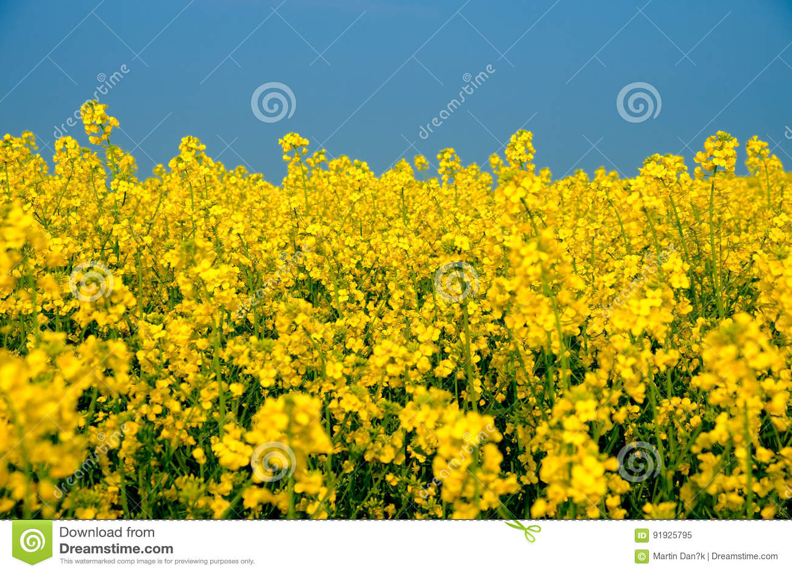 fiori gialli repubblica ceca